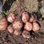 Картошечка уродилась