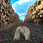 Лесозаготовка рядом с Трараскино