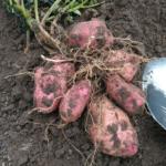 Картопля '21
