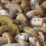 Урожай белых грибов