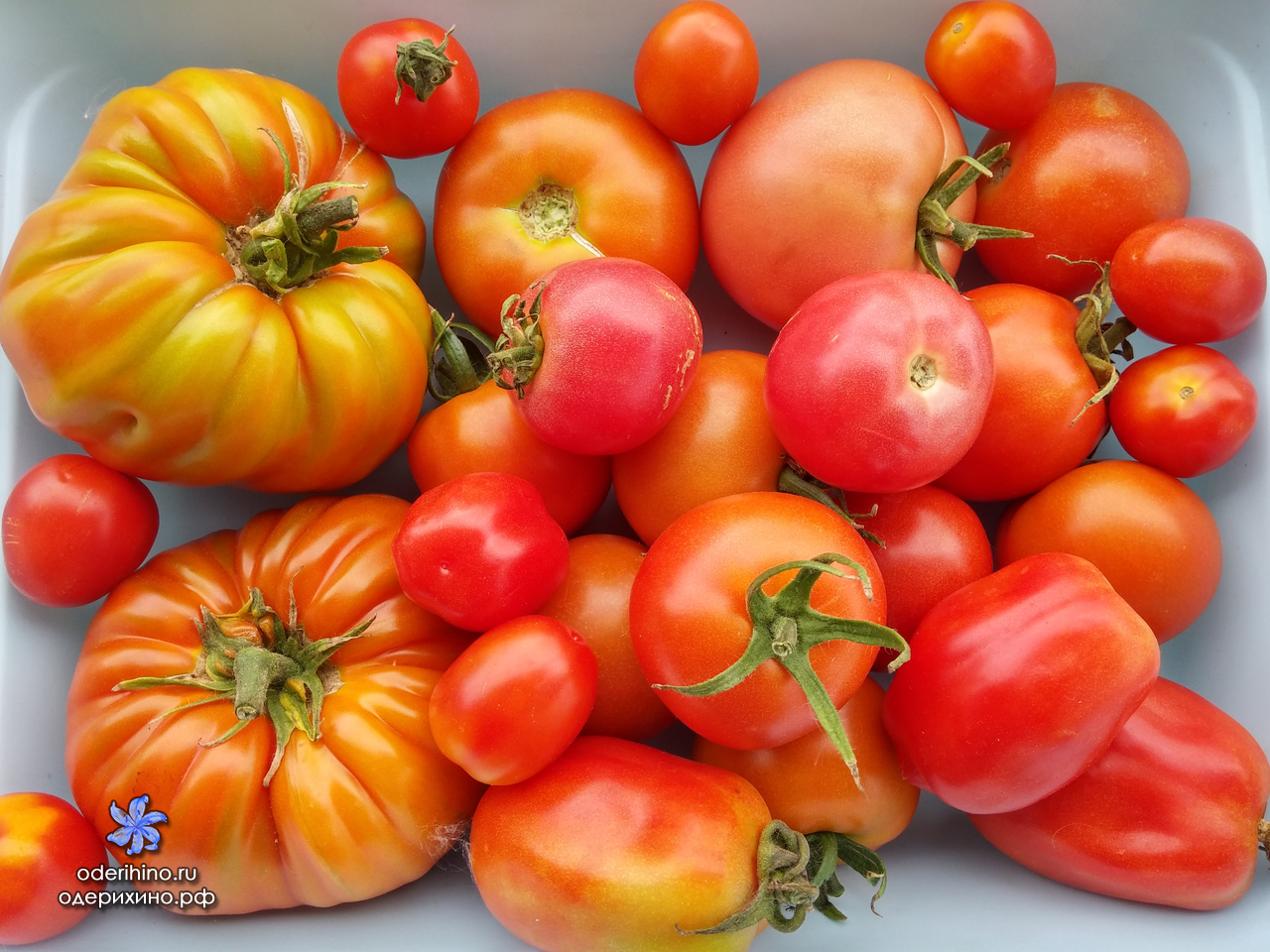 Сажать помидоры в 2017 621
